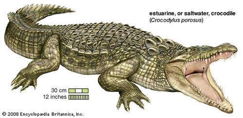 澳洲咸水鳄是世界上体型最大的爬行动物,雄性咸水鳄最长可达10.6米.