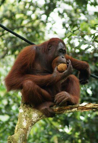 图瓦卢发行动物的母爱系列彩银币--猩猩